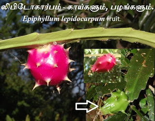 Epiphyllum lepidocarpum fruit