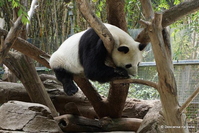 Urso Panda Zoologico de San Diego