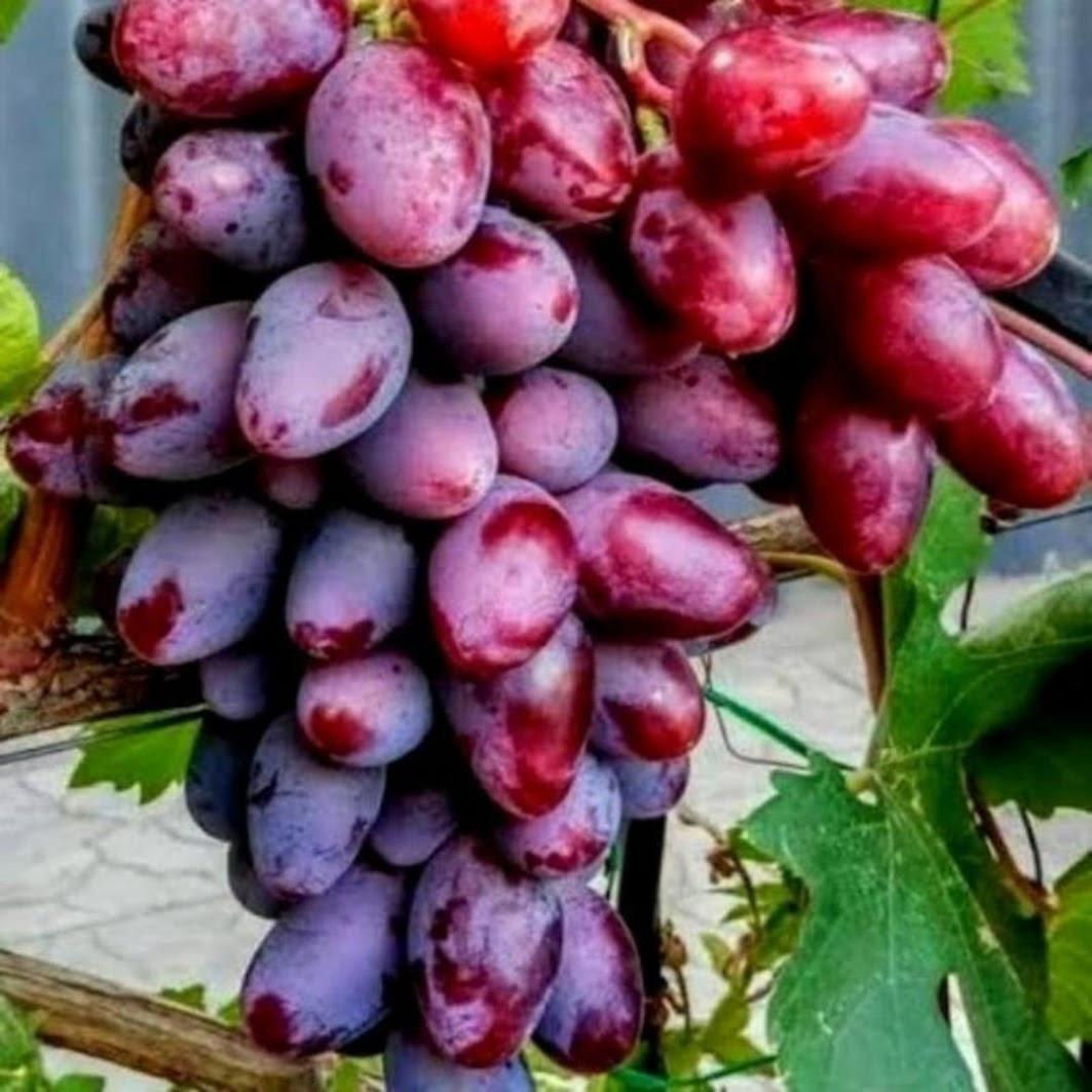 Bibit Anggur Baikonur New Grafting Sumatra Selatan