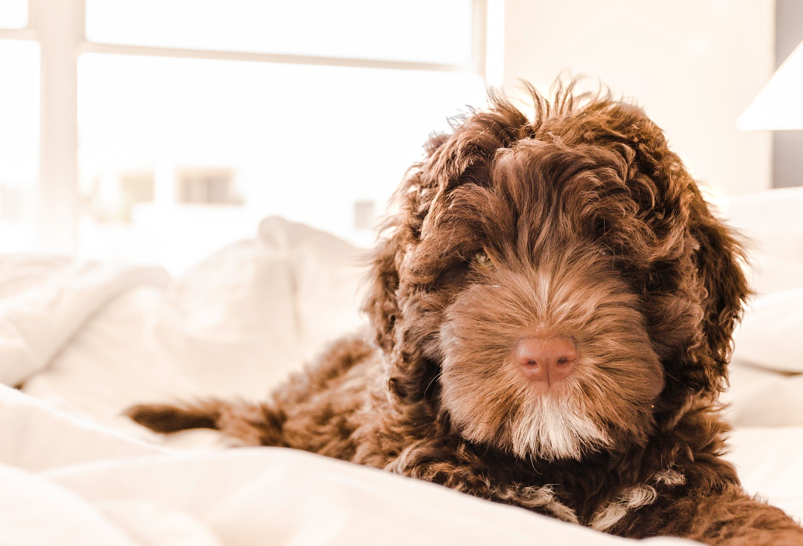 brown-and-white-portuguese-water-dog-puppy-pictures