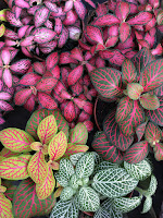 A sampling of the different colors of the Nerve Plant leaves. NERVE PLANTS (Fittonia argyroneura)