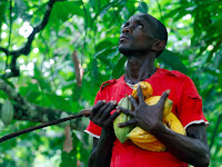 A farmer carrying cocoa pods at a cocoa farm in Agboville, Ivory Coast. (Credit: Reuters/Luc Gnago) Click to Enlarge.