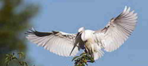 Burung Kuntul Besar dan Burung Kuntul Kecil
