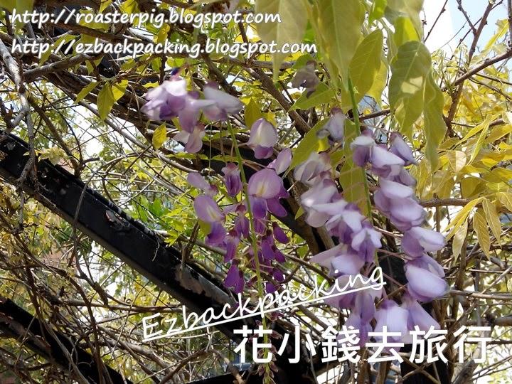 沙田公園紫藤花2021