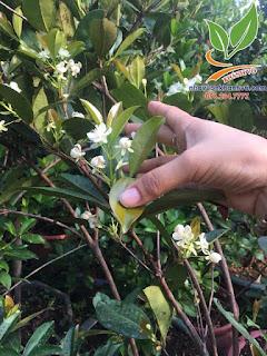 Cây Cherry Brazil - Nhà vườn Khánh Võ 56242624_2281172798805046_4312073940286570496_n