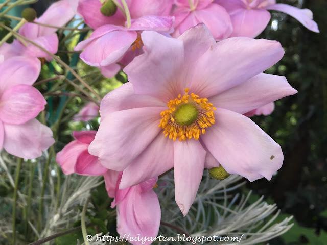 rosa Anemonenblüte