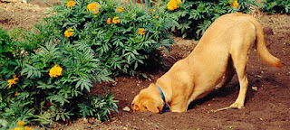 A brown dog with his whole head in a hole in a garden.