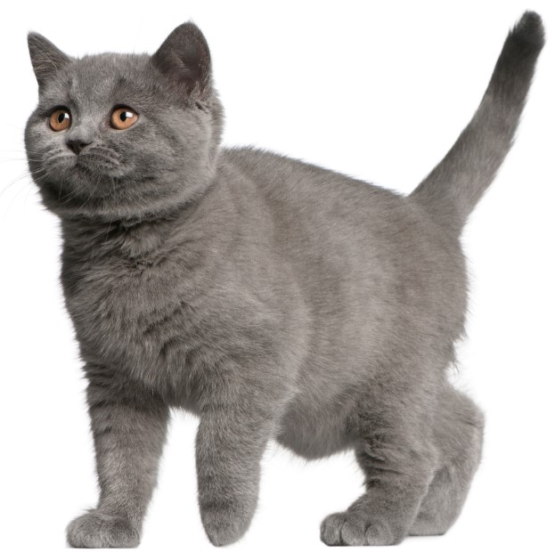 Brazilian Shorthair Cat -  all you want to know about Brazilian Shorthair Cats