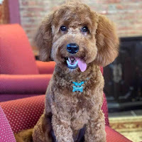 Micro_Goldendoodle_Puppy_is_human_friendly