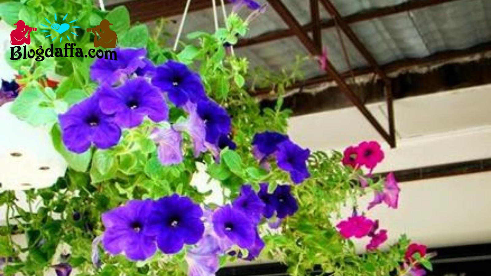 Bunga petunia gantung tahan panas