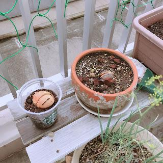 アボカドの種を植えました。