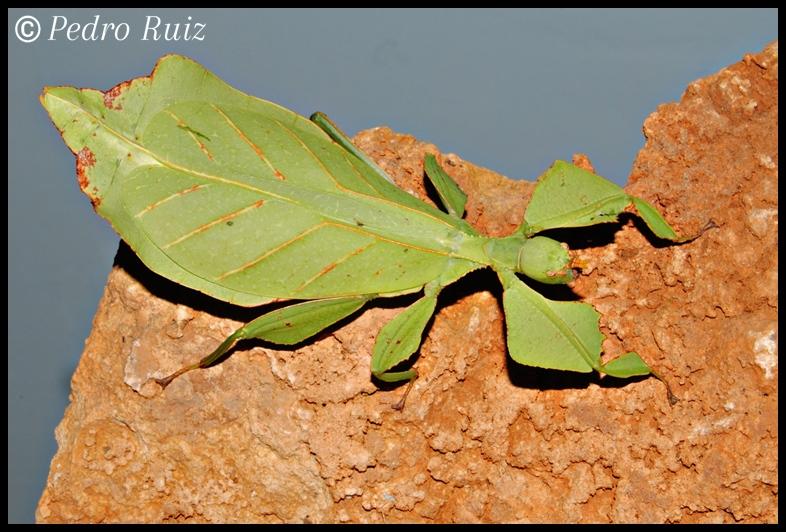 Hembra adulta de Phyllium ericoriai, 10 cm de longitud