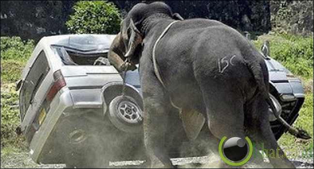 Amukan Gajah Hutan Chandka