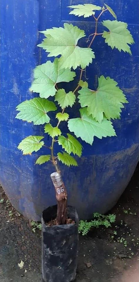 Bibit anggur import julian Grafting Surakarta