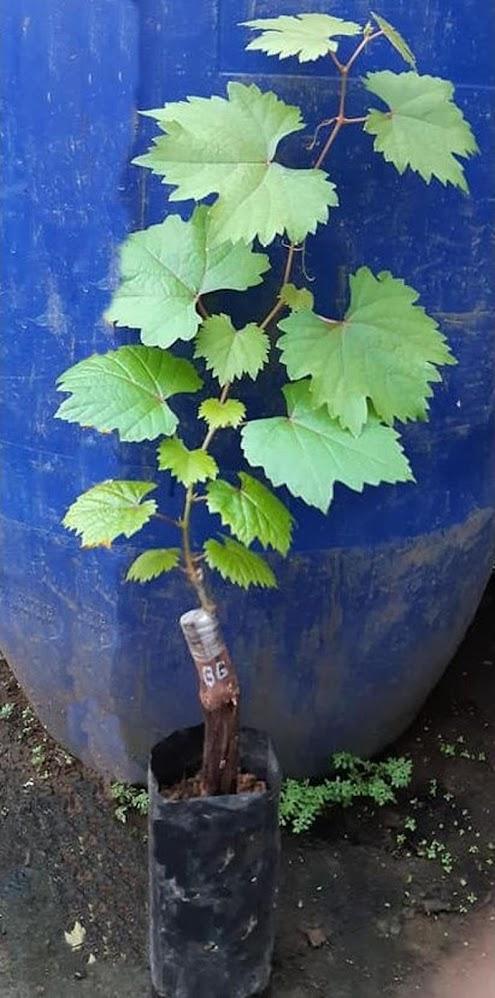 Bibit anggur import julian Grafting Tanjungbalai