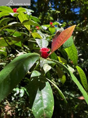 Espécie chamada Psychotria nuda