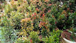 Jual Pohon Pucuk Merah,Jual Tanaman Hias Pucuk Merah Murah