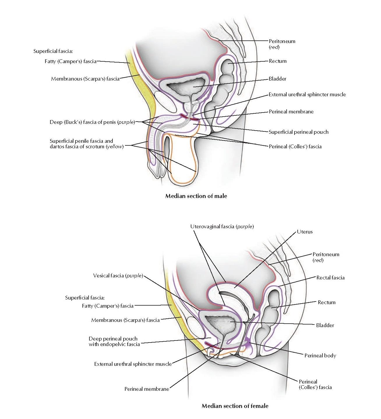 Fasciae of Male and Female Pelvis and Perineum Anatomy