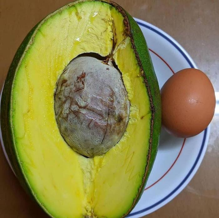 Bibit buah alpukat markus super Jawa Timur