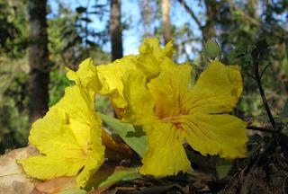 Cortez Amarillo Flowers