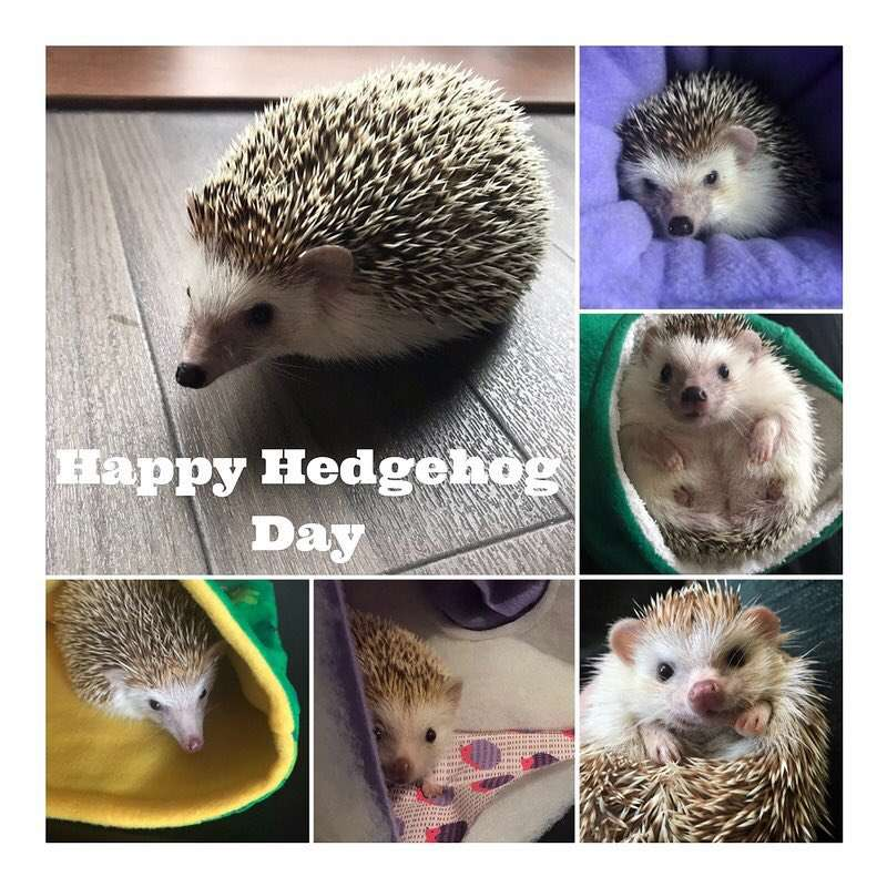 National Hedgehog Day Wishes Pics
