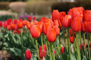 チューリップ                        みんなの花壇