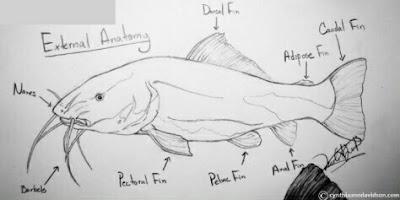 morfologi dan klasifikasi ikan lele