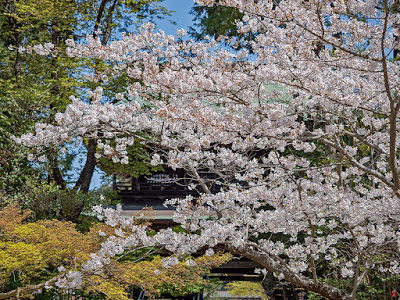 Someiyoshino-zakura (Prunus yedoensis) flowers: Engaku-ji