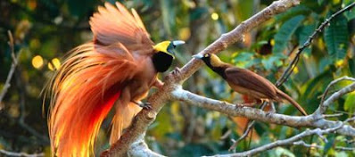the beauty of birds of paradise