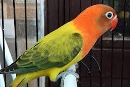 Cara mencetak lovebird biola euwing dari Om Heri Pemalang