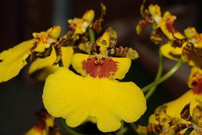 Grow and care Oncidium varicosum orchid - The Veined Oncidium