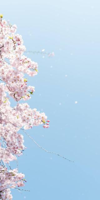 Hoa anh đào rơi giữa bầu trời xanh