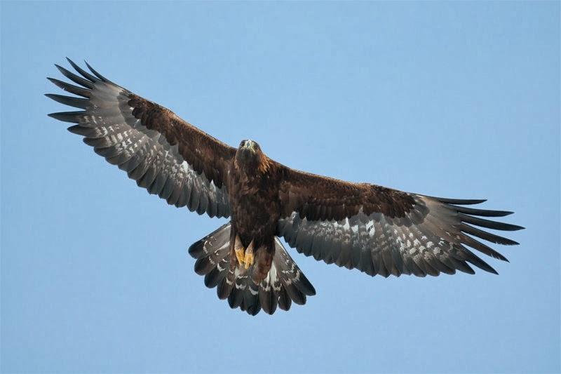 Águila Real En Pleno Vuelo