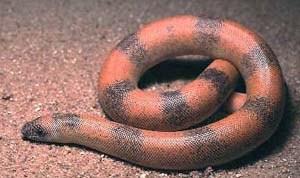 மண்ணுளி பாம்பு (அ) இருதலை மணியன் பாம்பு - manuli pambu [Sand boa].