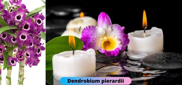 Southern India Pride Dendrobium pierardii-aphyllum