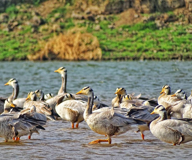 Bar-headed Geese in Chambal River near Agra