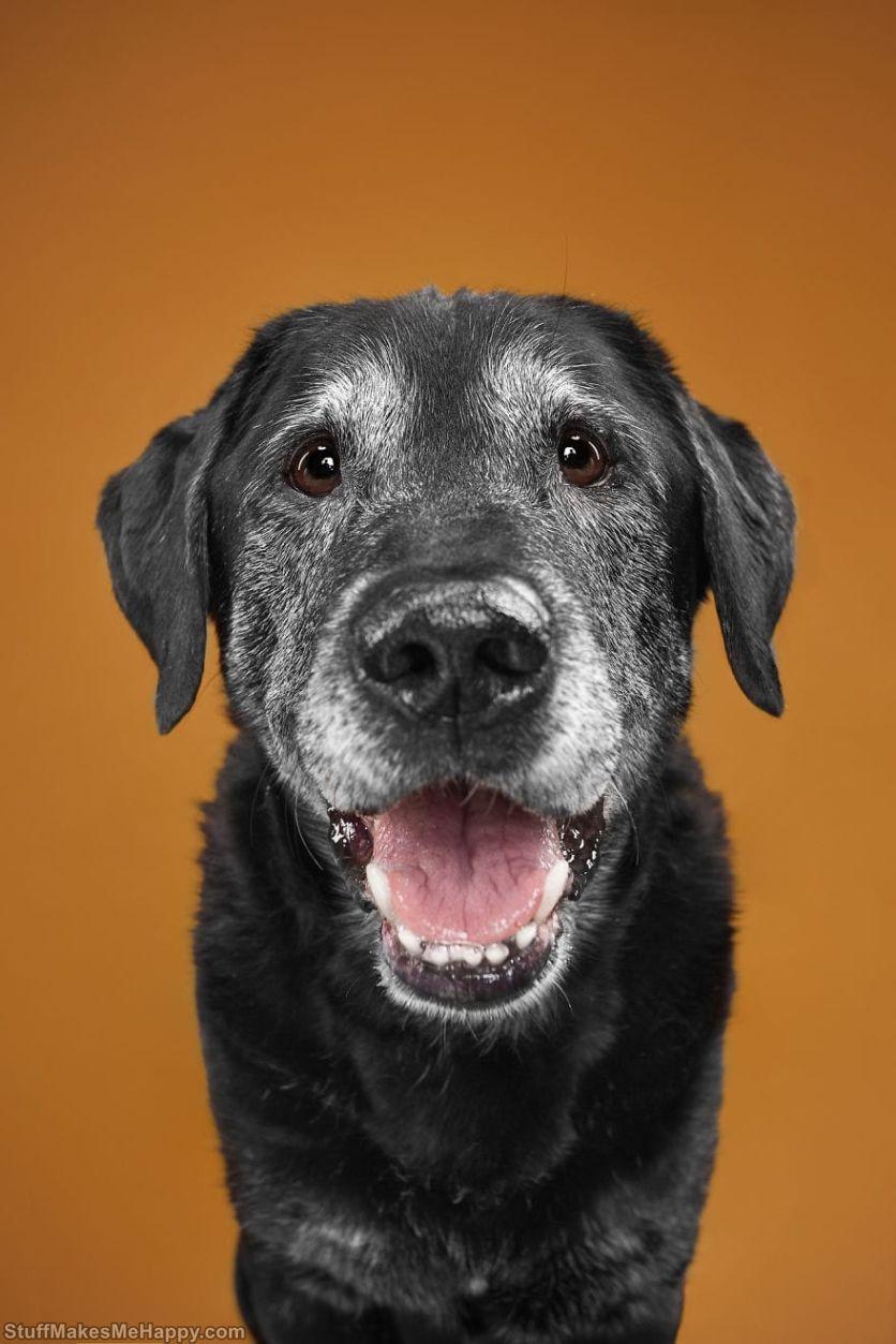 15. Alex - an elderly, light-hearted labrador
