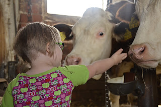 Photo from behind girl as she is reaching out to pet cows in a barn