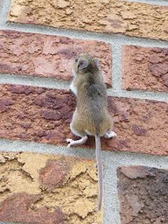 Lağım faresi düz duvara tırmanır mı ?