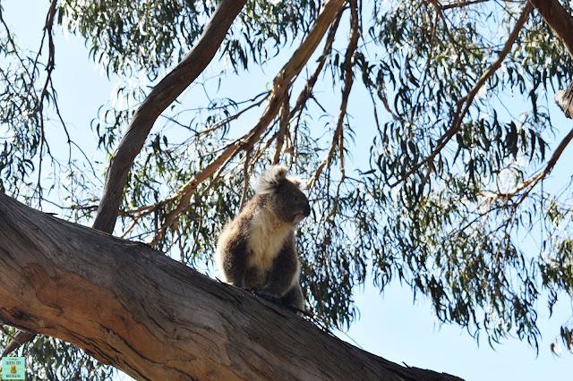 Koala en Raymond Island, Australia