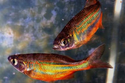 Ikan Hias Rainbow, Endemik Perairan Tawar dari Papua yang eksotis