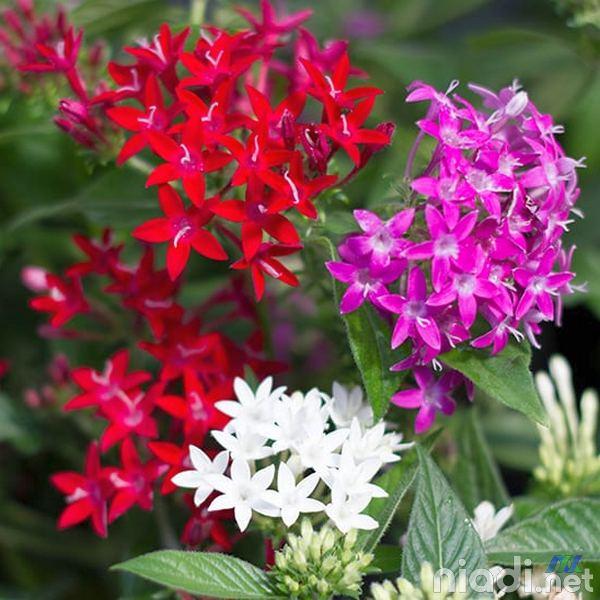 cara merawat tanaman bunga pentas lanceolata