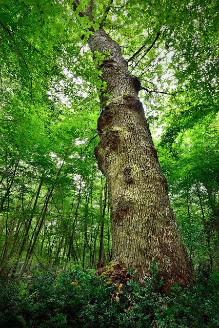 Arbre remarquable, Gros Fouteau, Forêt de Fontainebleau/