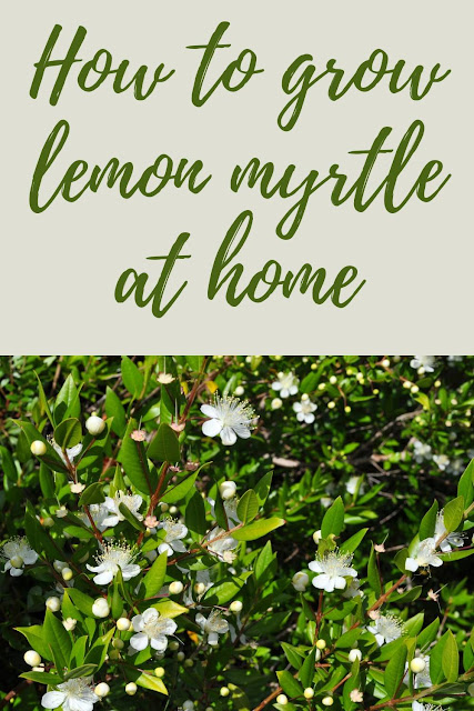 Benefits of Lemon Myrtle and Lemon Myrtle Essential Oils You Should Know