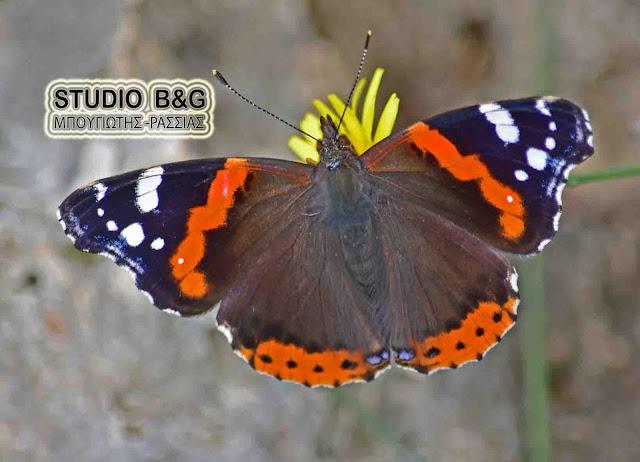 Η φωτογραφία της ημέρας:  Μια συλλεκτική πεταλούδα στο Ναύπλιο