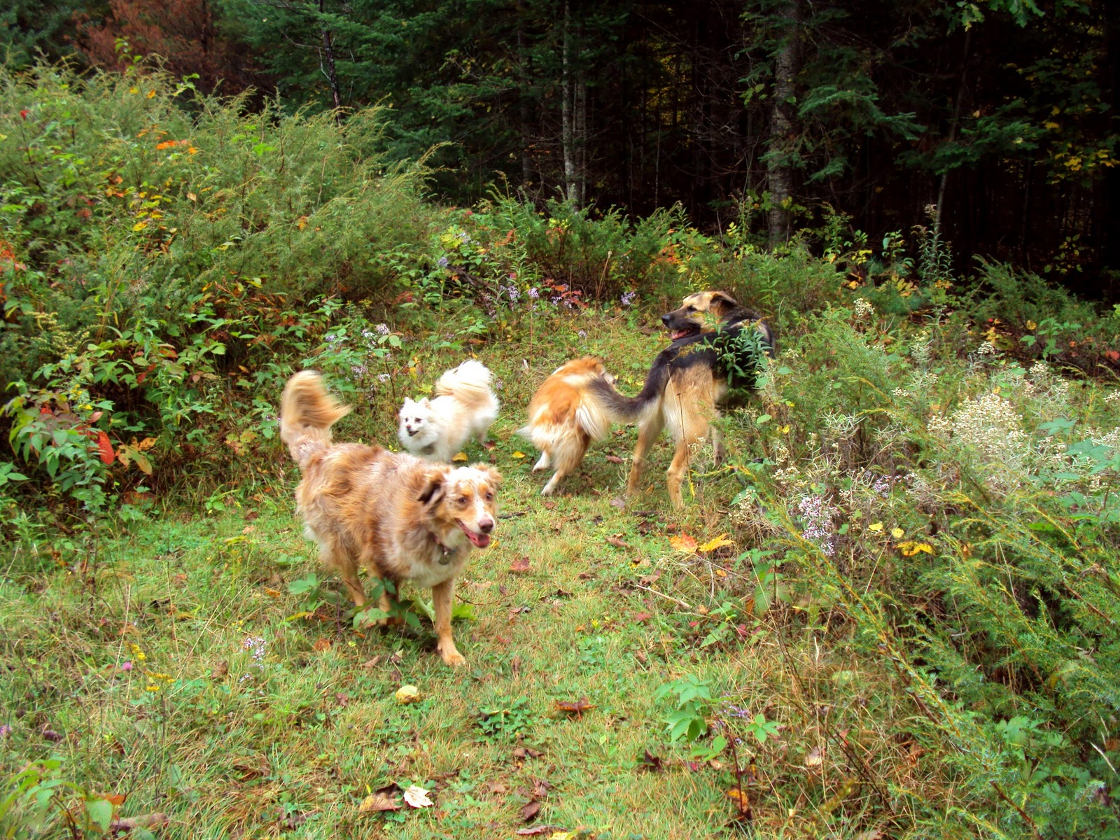 Ottawa Valley Dog Whisperer : HOW TO STOP YOUR DOGS FROM FIGHTING