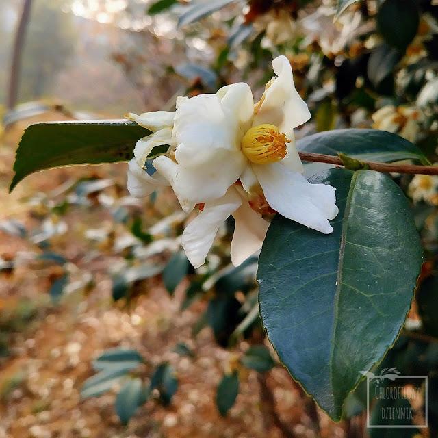 Kamelia olejodajna (Camelia oleifera), krewniak kerbaty i kamelii japońskiej - opis, wygląd, kwiaty, owoce, nasiona. Olej kameliowy informacjie na temat pochodzenia, wytwarzania, wykorzystania. Jak wygląda kamelia olejodajna, opis botaniczny, zdjęcia liści, owoców, kwiatów, kwitnienie, rośliny użytkowe olejne, olejodajne, oleiste. Ciekawostki dendrologiczne, ciekawe azjatyckie chińskie drzewa użytkowe, właściwości, użytkowanie oleju, cena.