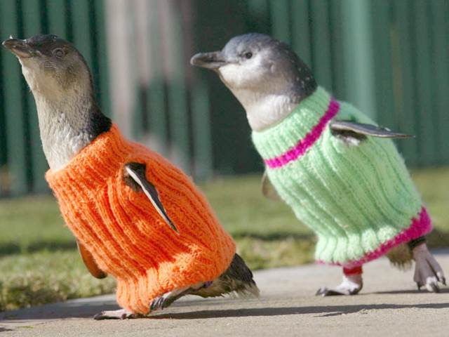 Two Little Blue Fairy Penguin dressed in a tiny orange sweater and a tiny lime green sweater. No Kicking Penguins and other penguin stories. marchmatron.com