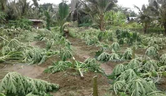 pohon-pepaya-ditebang