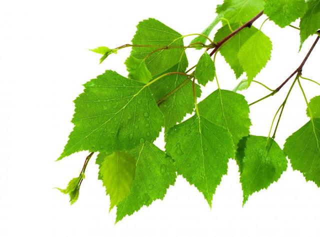 Niedziela dla włosów 58. Płukanka z liści brzozy